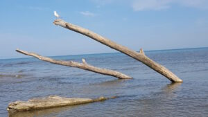 Seagull perched on Driftwood at the Port Franks Beach, Lake Huron, Ontario, Canada