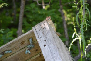 Chippie the chipmunk loves Peanuts - a resident of Port Franks Getaway, Ontario, Canada