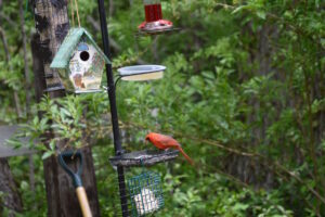 Cardinal Feeding Station, Port Franks Getaway - they hang around for all 4 seasons bringing beautiful color to every backdrop
