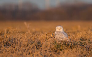 The majestic Snowy Owl - courtesy of local Photographer Chris Pepper https://www.chrispepperphotography.com/